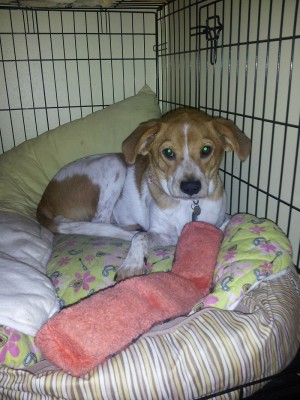 white and brown dog laying in crate with toy and dog bed